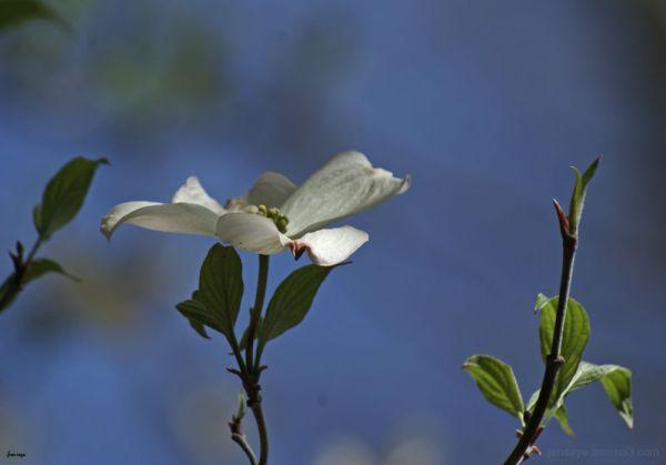 Dogwood tree flowers Georgia