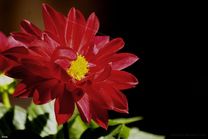 Red Dahlia Flower Spring Georgia Jennifer Hatcher