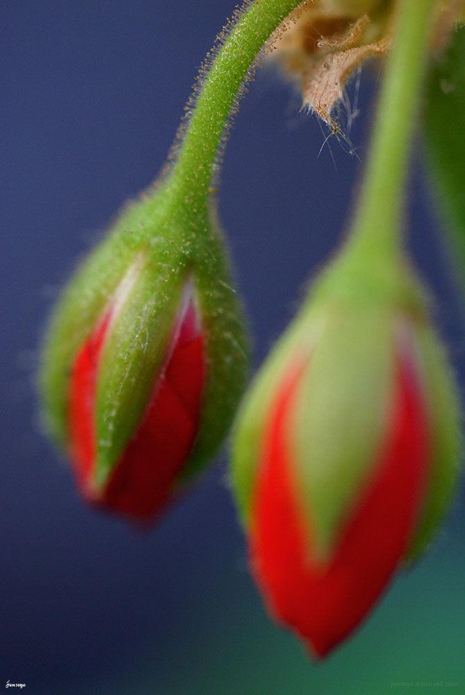 Red Geranium Buds Jennifer Hatcher