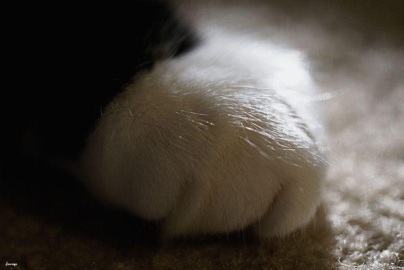 Tuxedo Cat Black and White Paw