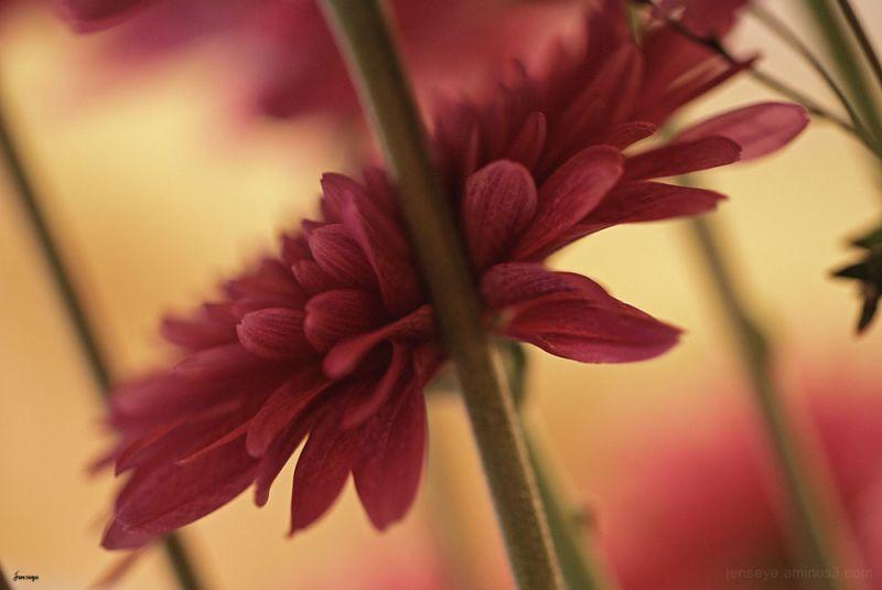 Purple Daisy Flower Jennifer Hatcher