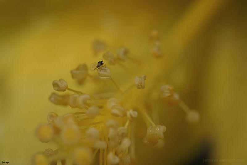 Little Bug Yellow Hibiscus