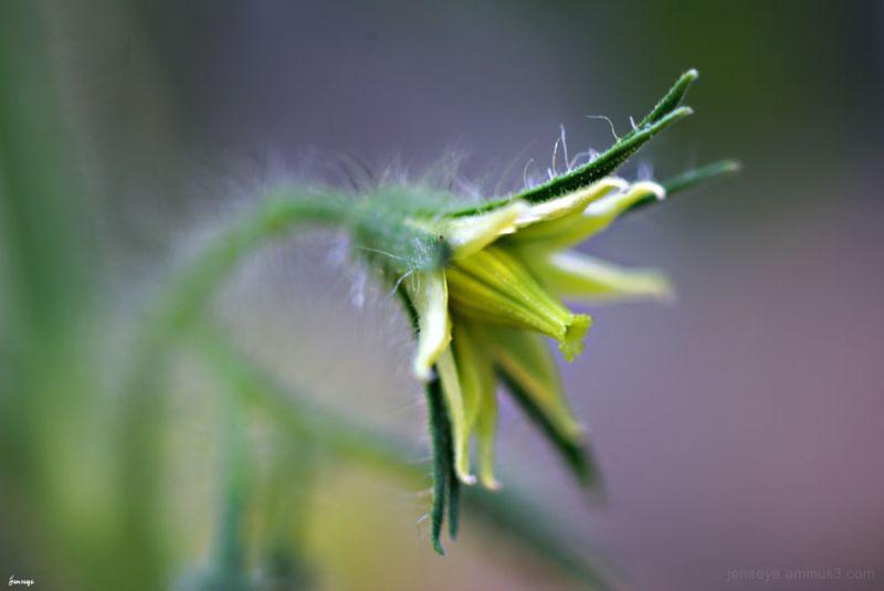 Tomato Plant Bloom