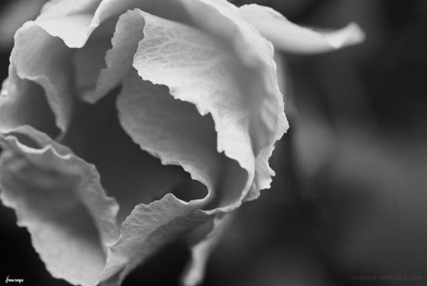 Black and White Hibiscus