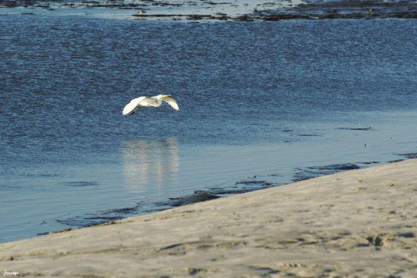 Animal Bird Egret Beach Saint Simons