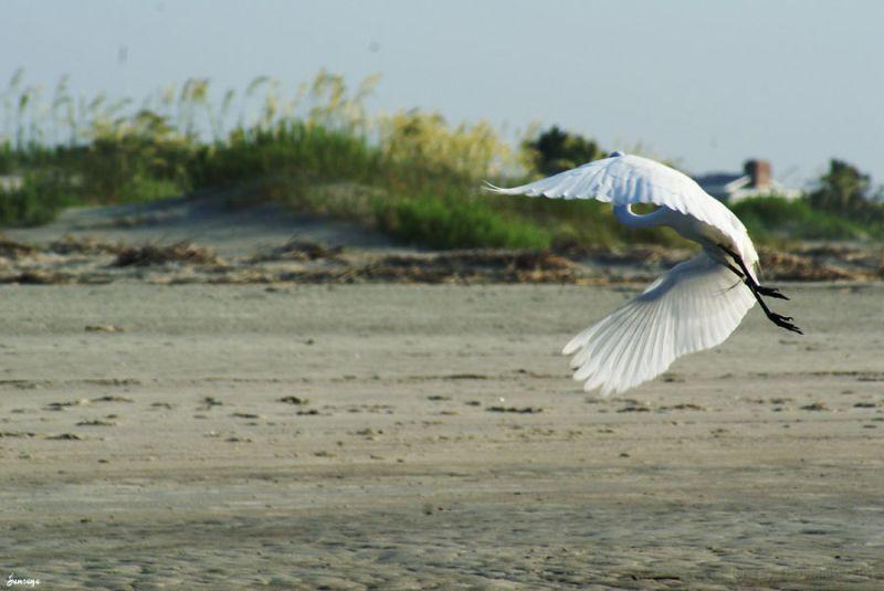Beach Egret Flight Wings Bird Saint Simons Georgia