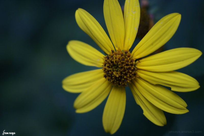 Yellow Daisy Wildflower Woods Forest