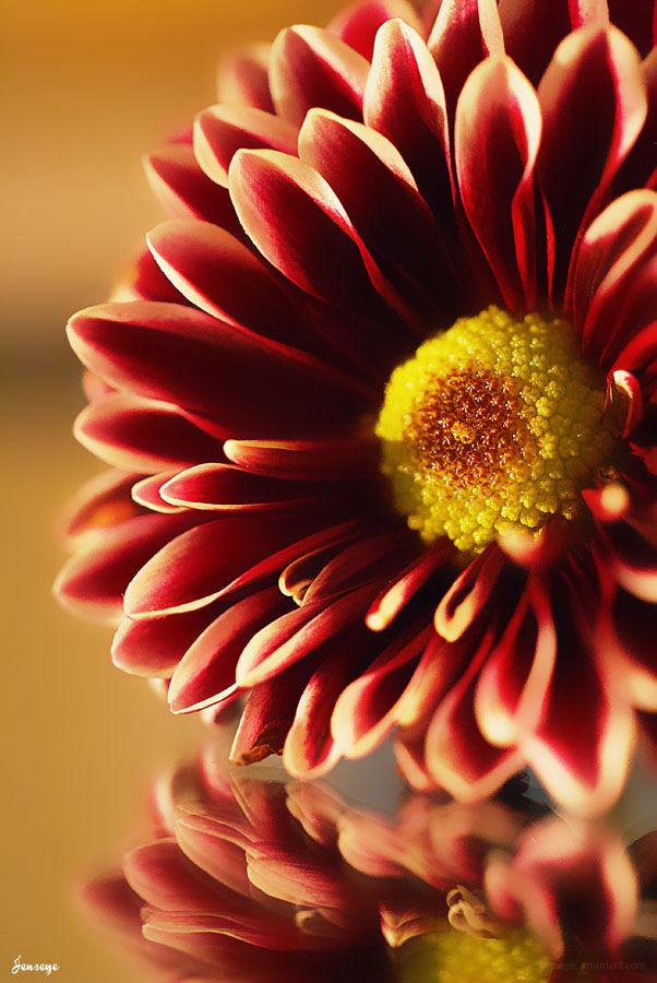 Flower Red Purple Yellow Mum Dahlia