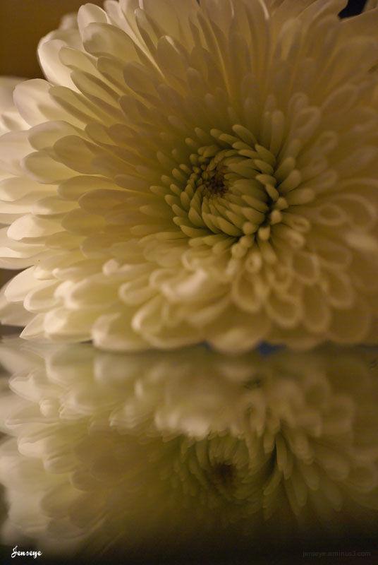 White Mum Flower Petals Reflection