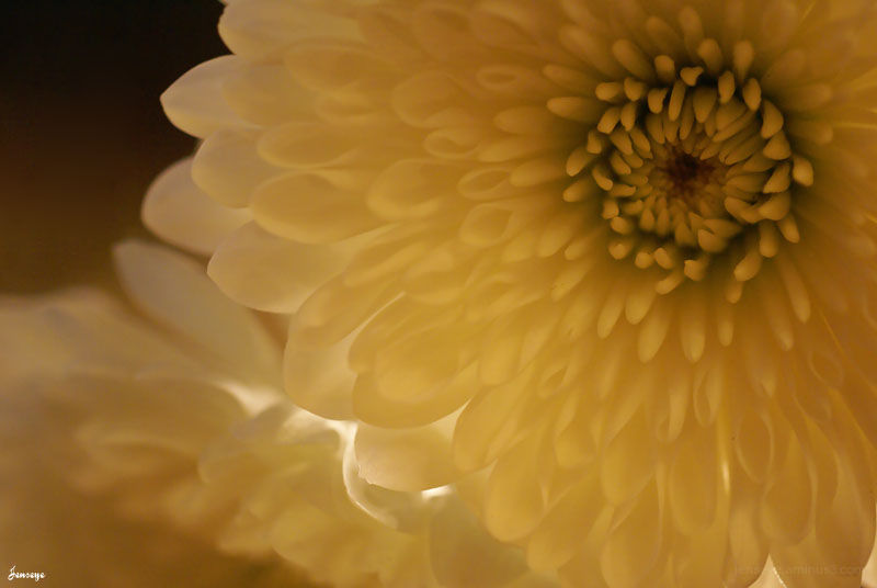White Mum Flower Light Petals
