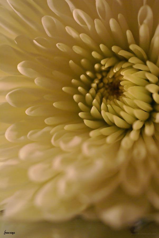 Flower Mum White Petals Macro