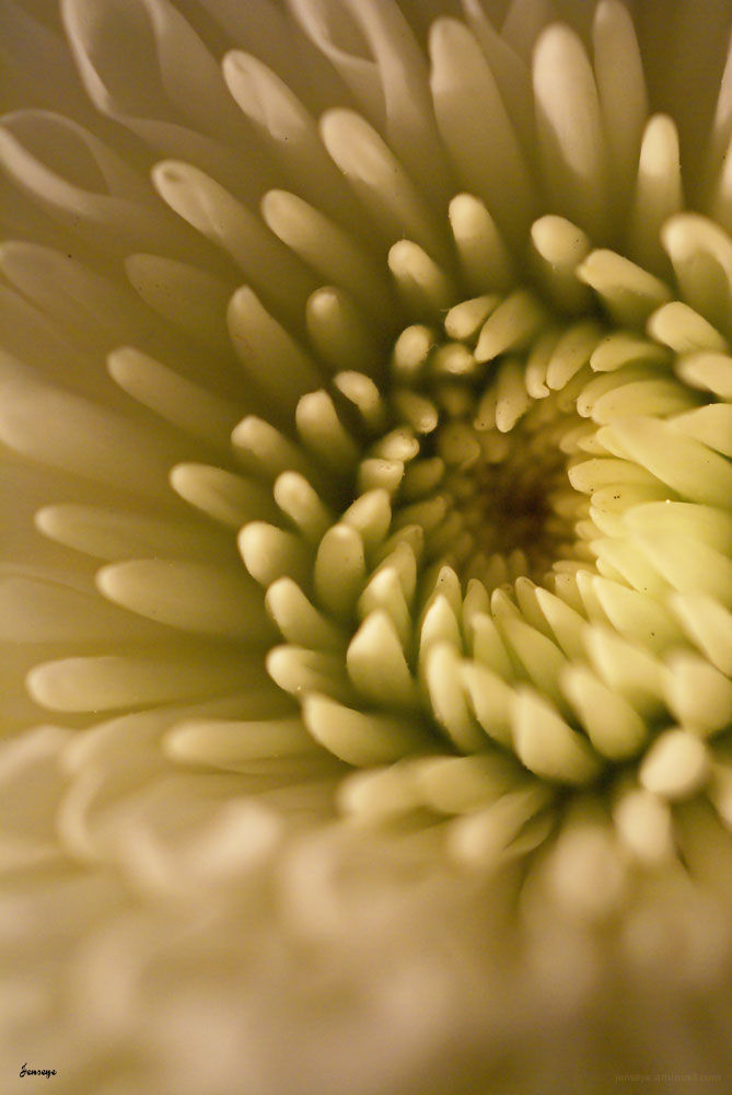 Plant Flower Mum White Petals