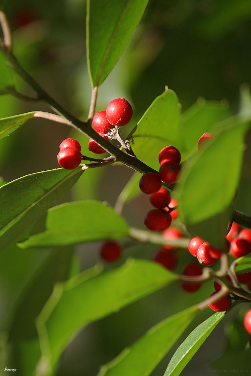 Holly Bush Green Red Nature Plant