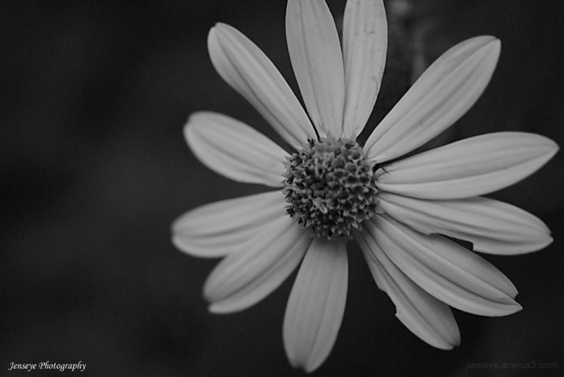 Flowers Daisy Black and Whtie