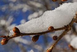 Nature Tree Redbud Snow Bloom