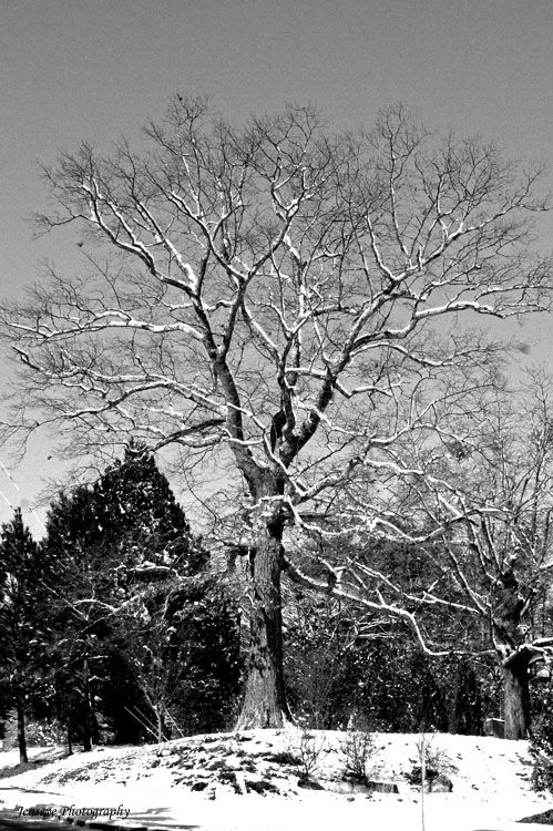 Nature Tree Southern Snow