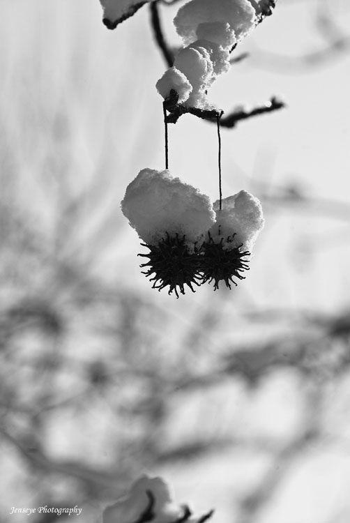 Plant Nature Sweet Gum Balls Southern Snow