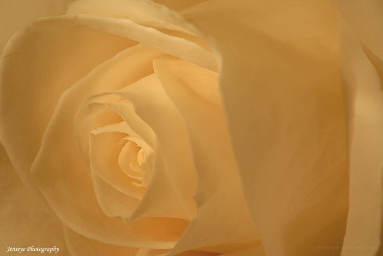 White Rose Macro Light Petals