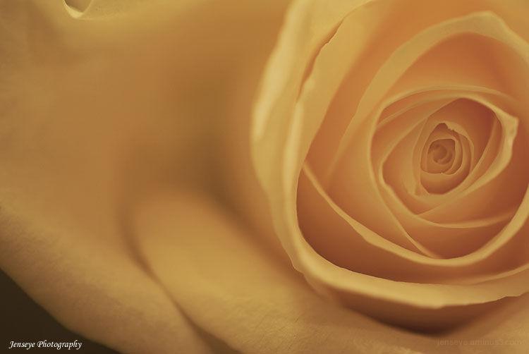 Plant Flower Rose White Petals Macro