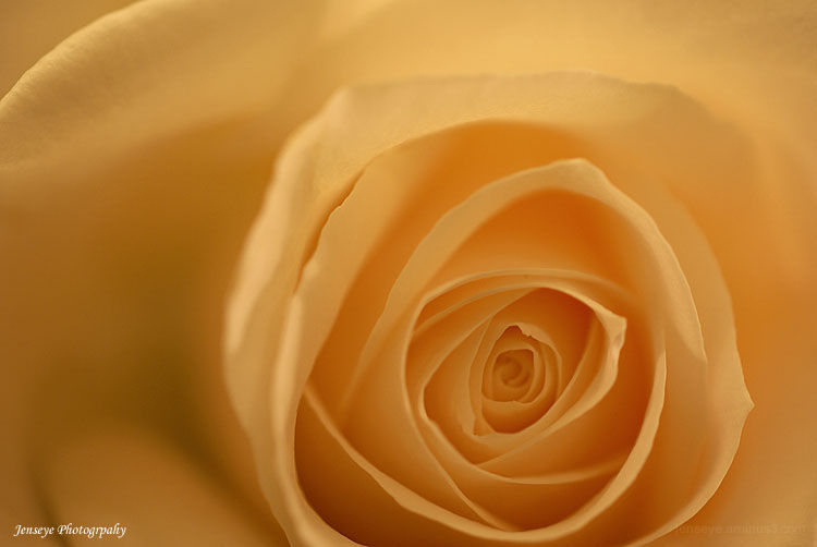 Plant Flower White Rose Petals Light Macro