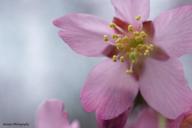 Nature Tree Redbud Pink Petals Macro