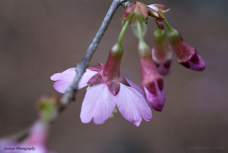 Nature Tree Redbuds Pink Petals Macro Spring