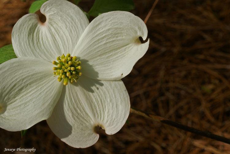 Plant Tree Dogwood White Spring