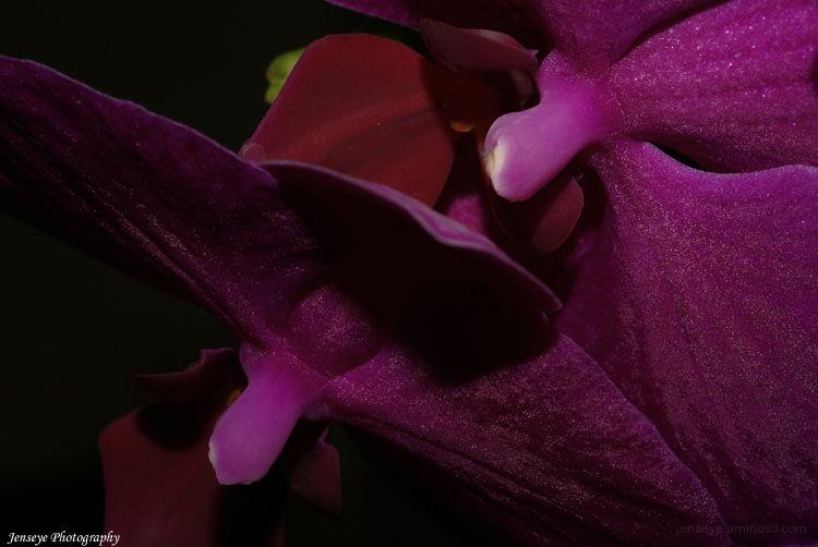 Plant Flower Orchid Dark Purple