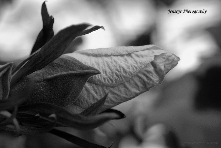 Black and White Hibiscus Plant Flower