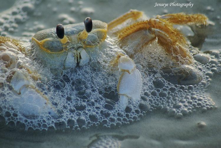 Animal Crab St. Simons Georgia
