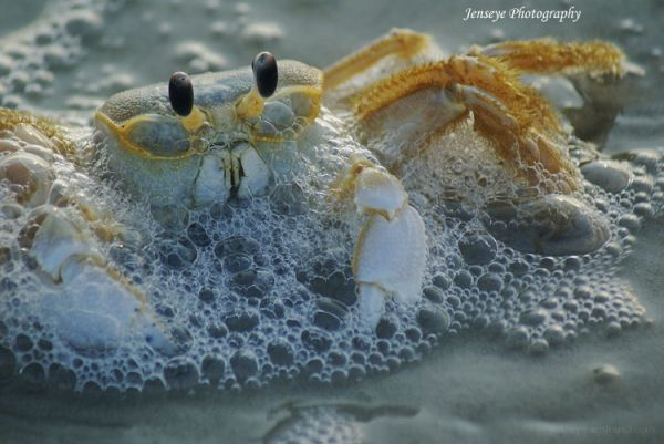 Animal Crab St. Simons Georgia