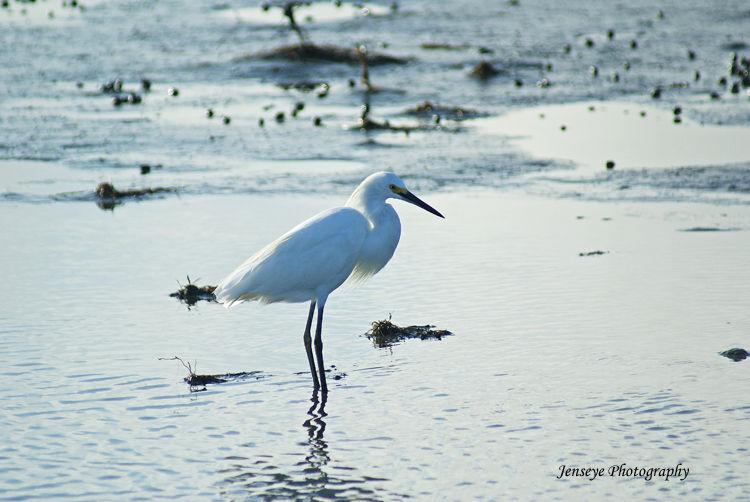 White Egret St Simons Island Georgia