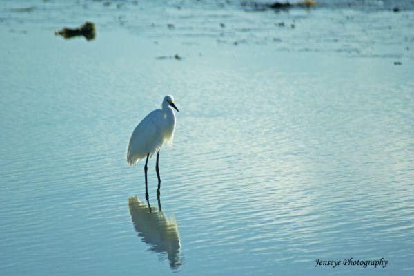 Animal Bird White Egret Beach Water