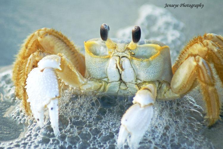 Animal Ghost Crab Seaside Beach Sand Water