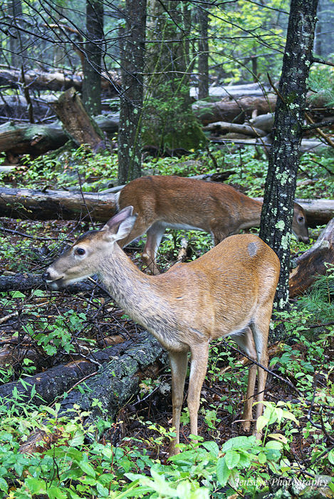 Animal Two Deer Doe Smoky Mountains Cades Cove