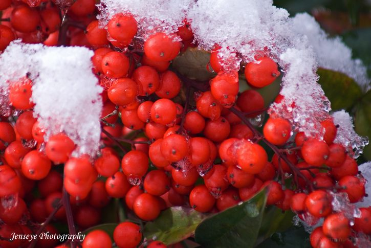 Holly Berries Snow Green Red Winter