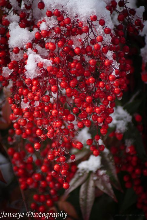 Holly Berries Snow Leaves Ice Green Red