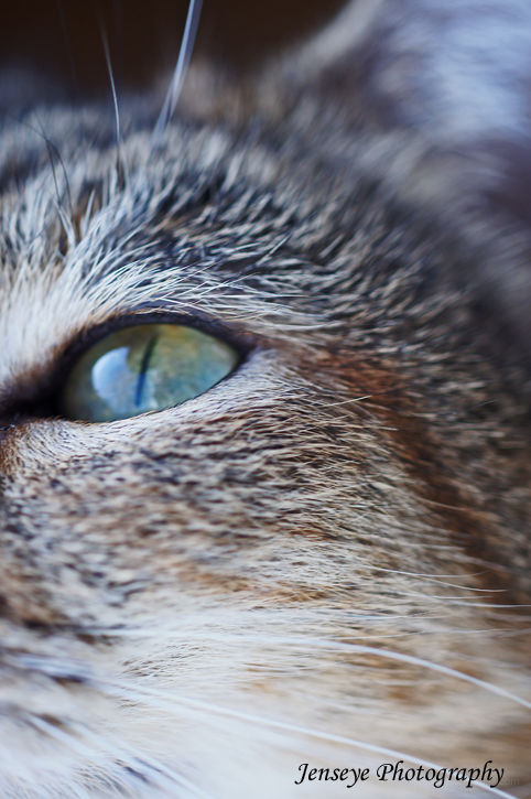 Tabby Cat Animal Eye