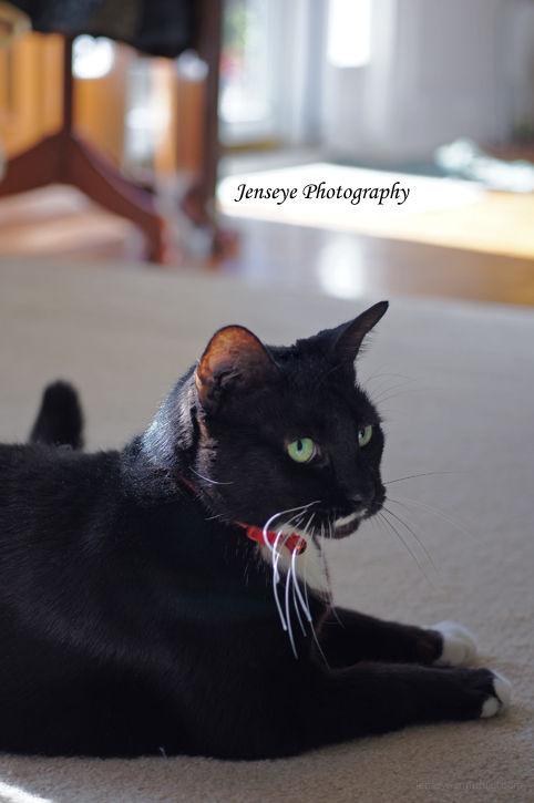 Animal Tuxedo Cat Milkie Black White