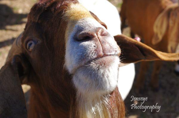 Animal Goat Brown Eyes