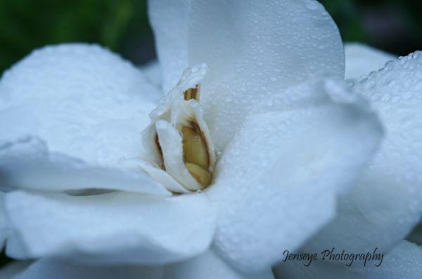 plant flower nature gardenia white morning