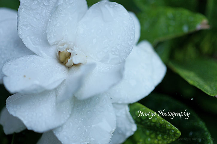 Plant Gardenia Flower White Dew