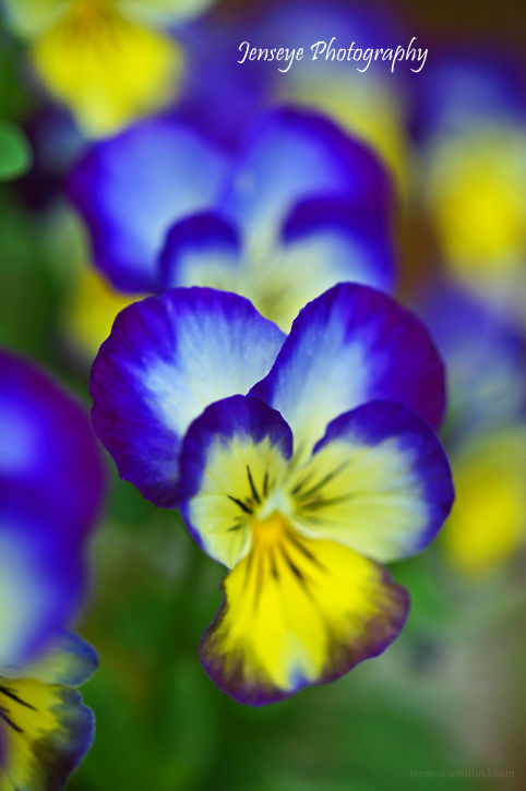Plant Flowers Viola Purple Blue Yellow