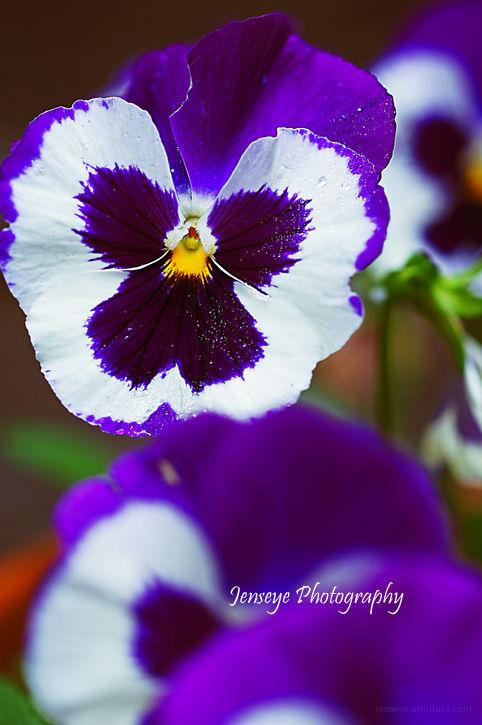 Plant Flower Pansy Purple White Pow
