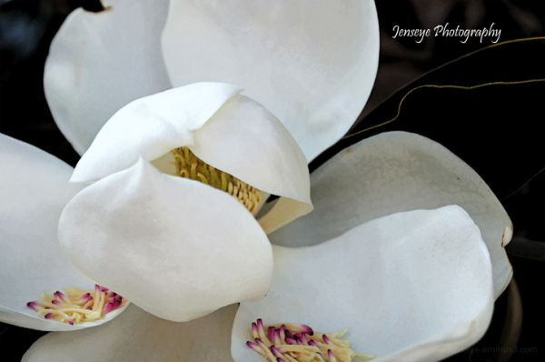 Plant Flower Tree Magnolia Petals White
