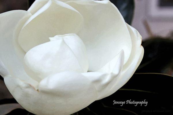 Plant Tree Flower Magnolia White Petals