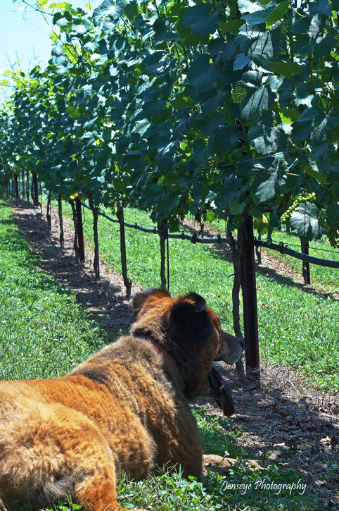 Animal Chow Mix Bear Yonah Mountain Vineyards GA