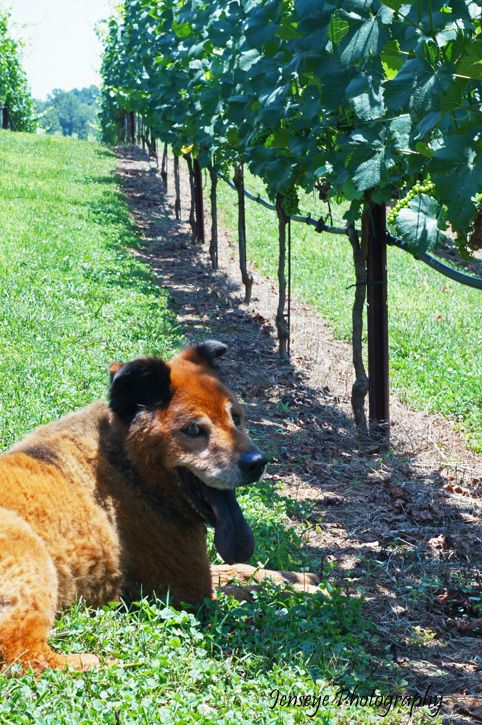 business Yonah Mountain vineyards grapes bear