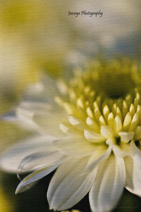 yellow white mum flower plant sunlight