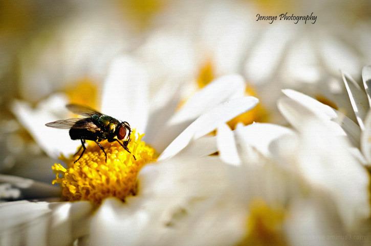 Fly Flower white mum yellow nature